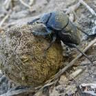 Lethrus — навозный жук (казалось бы, причем здесь Minelab)